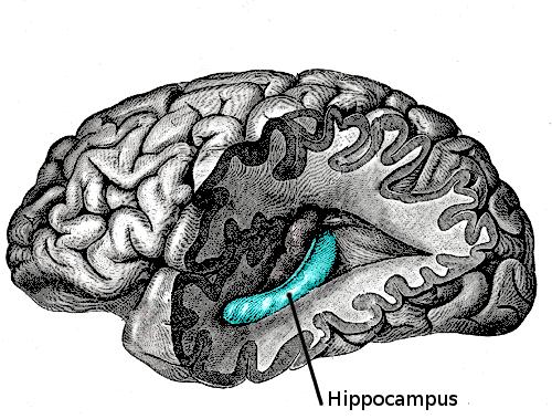 מיקום ההיפוקמפוס - 'איבר הזיכרון לטווח ארוך' במוח. מקור: ויקיפדיה