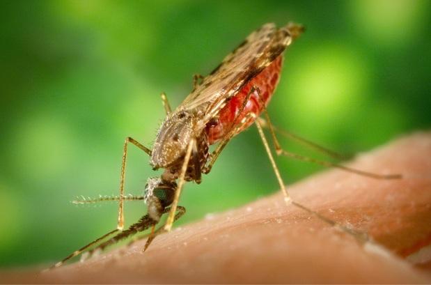 אפריקה מתחילה להפיץ יתושיםמהונדסים-גנטית
